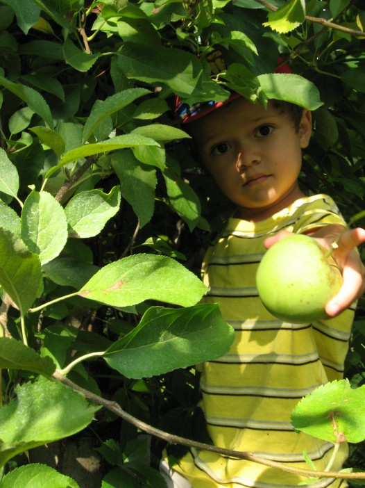 Christopher Gonzalez (Age 4) at his first apple harvest